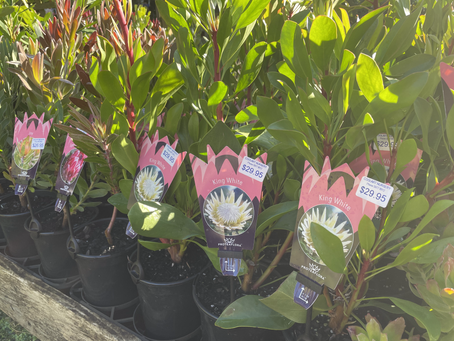 Proteas and Waratahs back in stock after a long absence!!