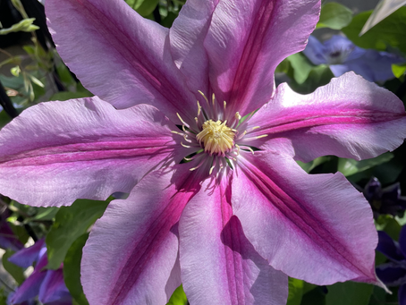 Clematis time!!