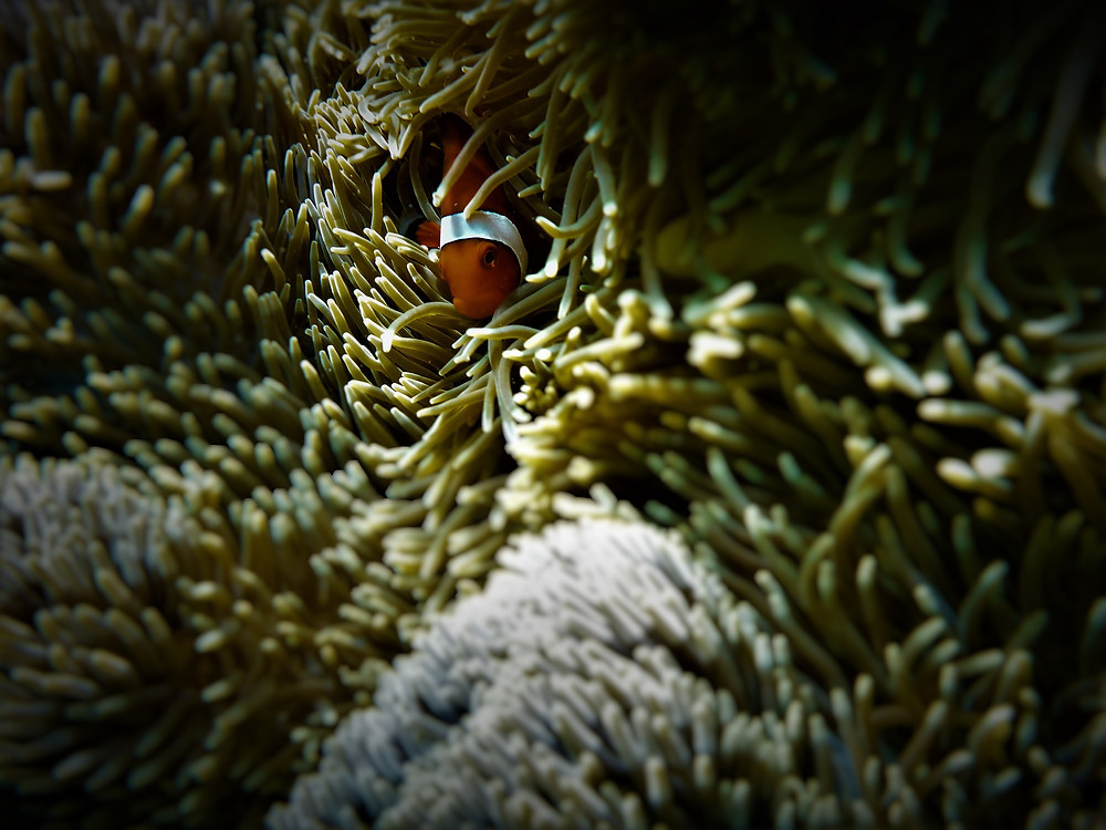 A clownfish, an small orange fish with white stripes, hiding in sea anemones.
