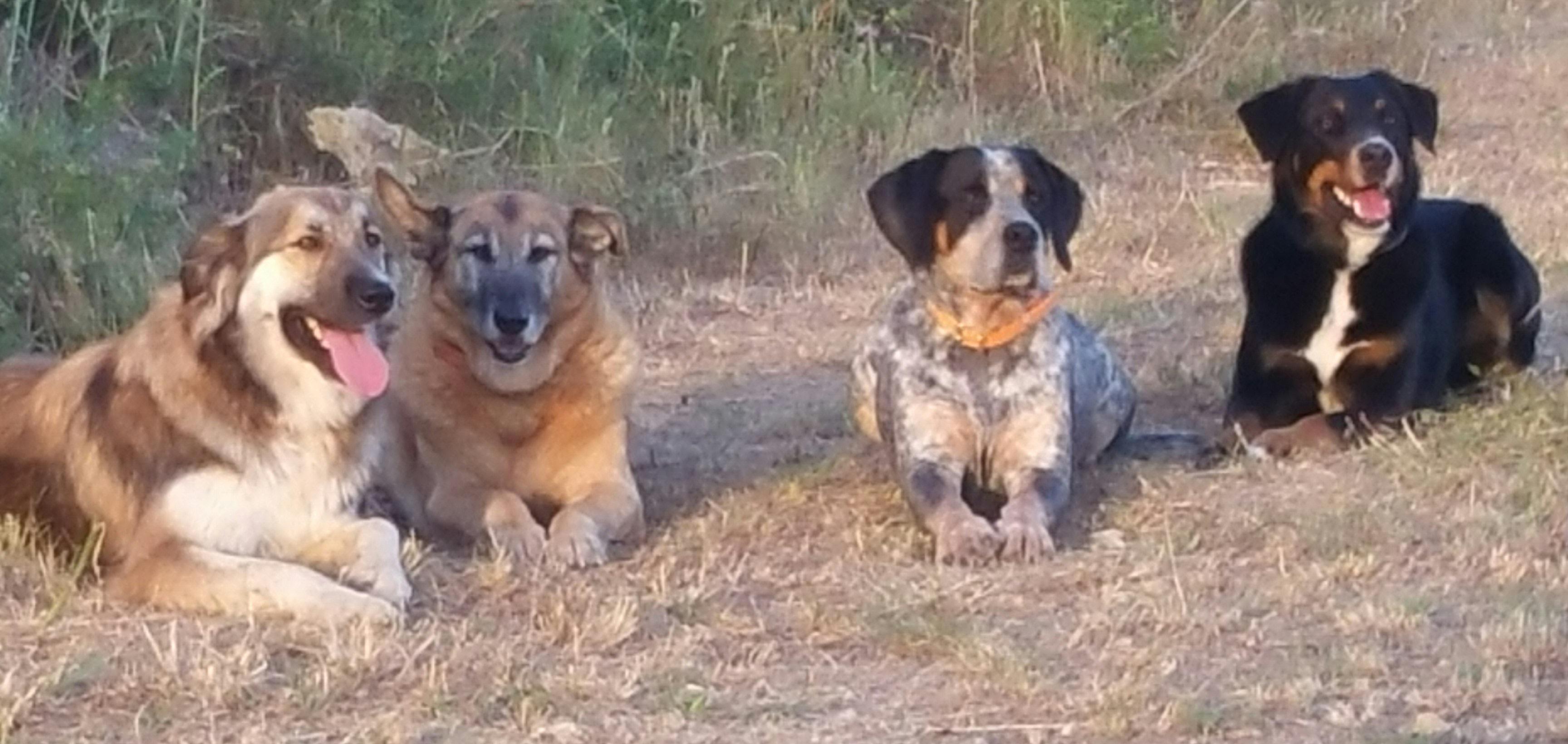 Des chiens attentifs...