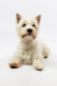 west-highland-terrier-1921859_1920.jpg