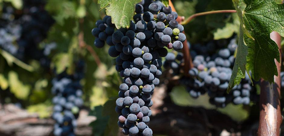 PMV - grapes.jpg