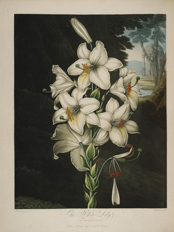 lily,white-templeofflora.jpg