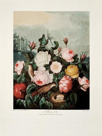Roses by Robert John Thornton, 1805© 200