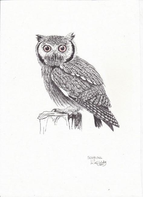 Scops owl resized.jpg