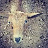 Chai, my pretty Nigerian dwarf doe. #sun