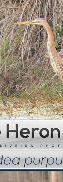 Ep. 28 - Garça-vermelha a pescar