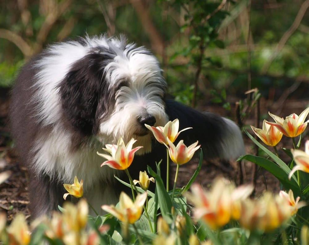 Bearded Collie enjoying tulips