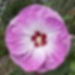 hibiscustiedye.png