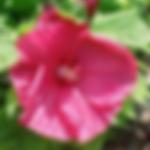 hibiscusdiscobellepink.png