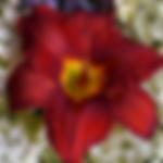 daylilysundriedtomatoes.png