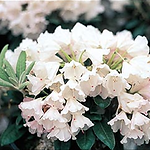 rhododendroncrete.png