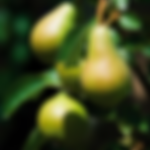 fruittreepearbartlett.png