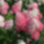 hydrangeavanillastrawberry.png