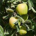 fruitappleyellowdel.png