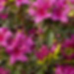 azaleagirardsfuchsia.png