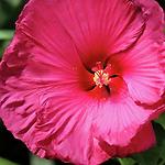 hibiscusjazzberryjam.png