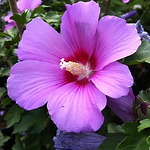 hibiscusminerva.png