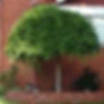 orntreeweepingmulberry.png