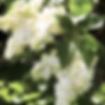 lilacmadamelemonie.png