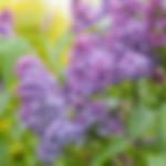 lilacyankeedoodle.png