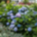 hydrangeaendlesssummer.png