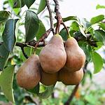 fruittreeboscpear.png