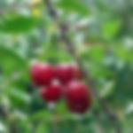 fruitcherrylapins.png