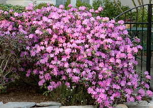 rhododendronmain.png