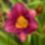 daylilypurpledoro.png