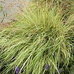 grassvarmoorgrass.png