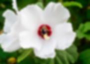 hibiscusmain.png