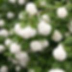 viburnumroseum.png