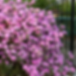 rhododendronpjm.png