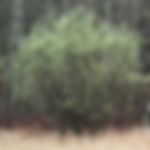 willowdiscolor.png