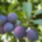 fruittreeprune.png