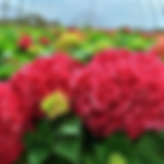 hydrangegratefulred.png