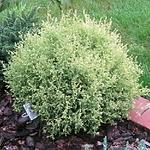 evergreenshrubchamcream.png
