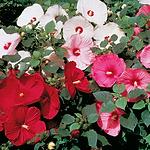 hibiscusdiscobellemix.png