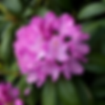rhododendronenglishroseum.png