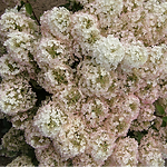 hydrangeabobo.png