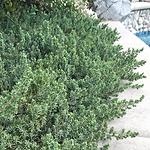 evergreenshrubbluepacificjuniper.png