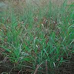 grassrotstrahlbusch.png