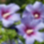 hibiscusbluemarlin.png