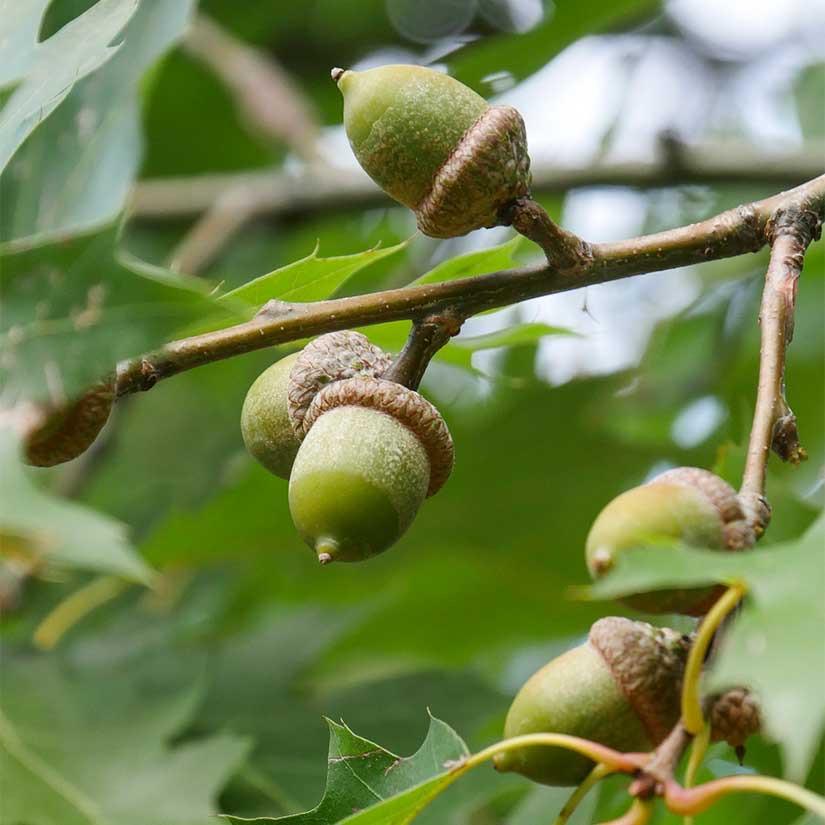 Oak Honey (Black Honey)