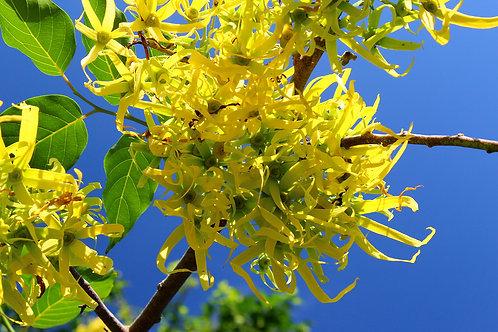 Organic Ylang Ylang Oil 有機依蘭依蘭油 10mL
