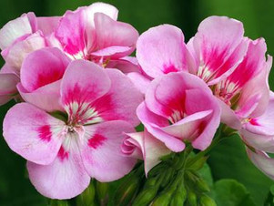 New Product ~ Floral Water ~ Rose Geranium