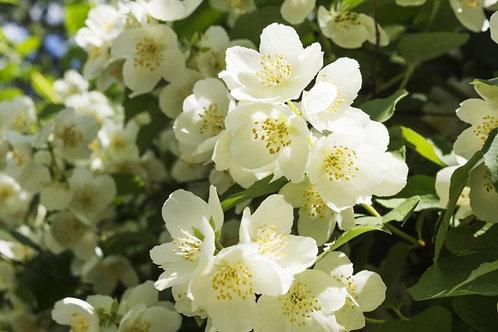 Organic Jasmine Absolute Oil 有機茉莉油 10mL
