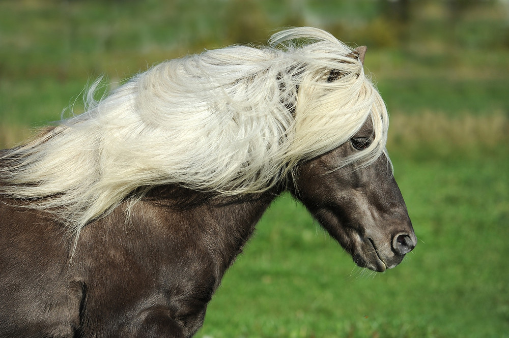mane and tail