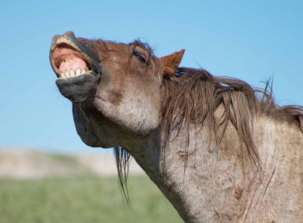 pferdenase, flehmen